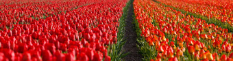 gallery/tulips-21690_640